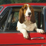 Pets Must Wear Seatbelts In New Jersey