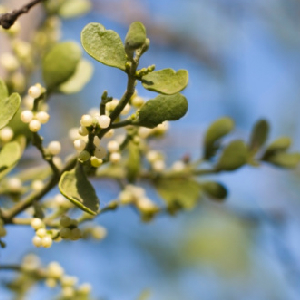 Mistletoe May Help Treat Colon Cancer
