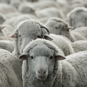 Sheeple: Another Look At A Sad Breed