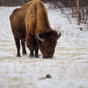 Endangered Species, Private Property And The American Bison