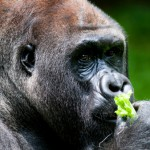 What's Good For The Gorillas Is Good For Humans, Too