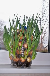 Onions grown indoors on a window sill.