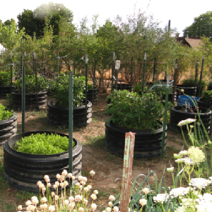 Use Old Tires And Culverts To Grow Vegetables